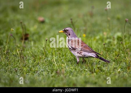 Juniper throttle, Turdus pilaris, Wacholderdrossel (Turdus pilaris) - Stock Photo