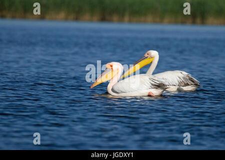 Rose's pelican, Pelecanus onocrotalus, Rosapelikan (Pelecanus onocrotalus) - Stock Photo