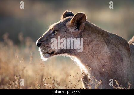 Lioness, Panthera leo, Löwin (Panthera leo) - Stock Photo
