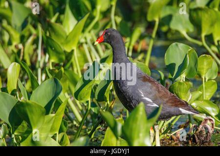 Teichralle, Gallinula chlorine opus, Teichralle (Gallinula chloropus) - Stock Photo
