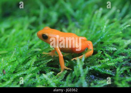 Little golden frogs, Goldfroeschchen  Mantella aurantiaca  Golden mantella - Stock Photo