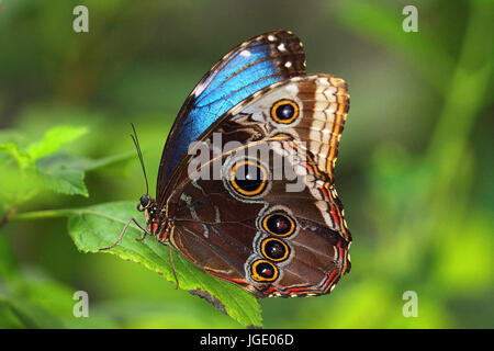 Blue Morphofalter, Blauer Morphofalter  Morpho peleides  Blue Morpho - Stock Photo