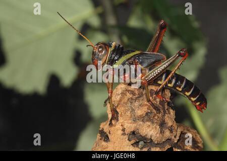 guiana gigantic grasshopper guayana riesenheuschrecke stock photo
