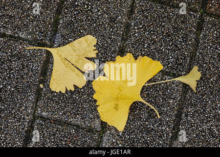 Beautiful gold and brown autumn ginkgo leaves fallen on stone floor - Stock Photo