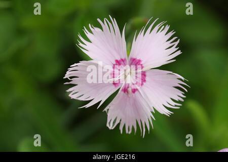 Feather carnation, Federnelke - Stock Photo