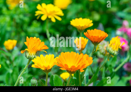 Calendula officinalis (Pot Marigold) flowers in Summer in West Sussex, UK. AKA Common Marigold, Ruddles, Scotch - Stock Photo