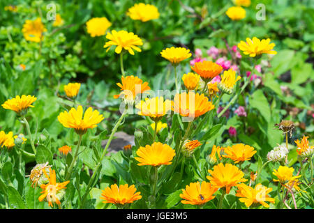 Pot Marigold (Calendula officinalis) flowers in Summer in West Sussex, England, UK. AKA Common Marigold, Ruddles, - Stock Photo