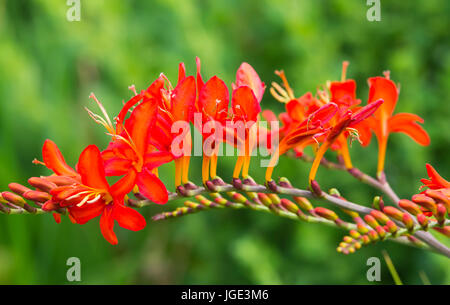 Montbretia 'Lucifer' plant (Crocosmia x crocosmiiflora) flowers in Summer in West Sussex, UK. AKA Coppertips 'Lucifer', - Stock Photo