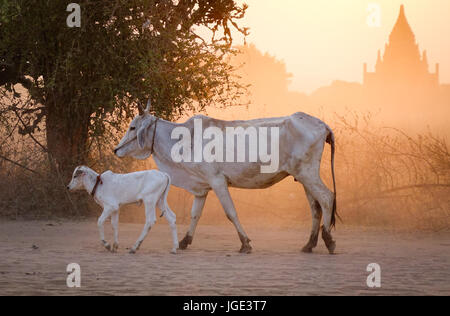 Cows walking on dusty road at sunset in Bagan, Myanmar. Bagan is located on the banks of the Ayeyarwady (Irrawaddy) - Stock Photo