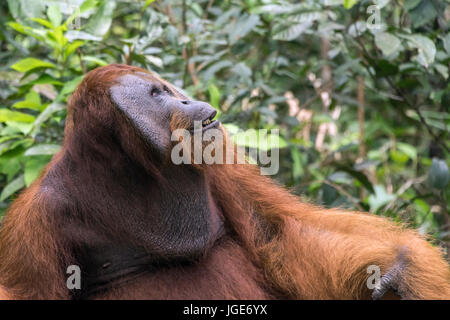 Neck pouch and cheek flaps on a mature male Bornean orangutan, Tanjung Puting National Park, Kalimantan, Indonesia - Stock Photo