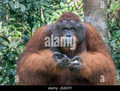 Flanged male orangtan with a mischievous smile, Tanjung Puting National Park, Kalimantan, Indonesia - Stock Photo