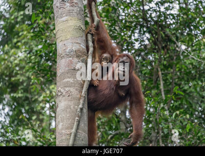 Mother orangutan and look-alike baby high in a tree, Tanjung Puting National Park, Kalimantan, Indonesia - Stock Photo
