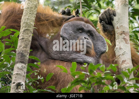 Flanged male orangutan relaxing in a tree, Tanjung Puting National Park, Kalimantan, Indonesia - Stock Photo