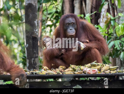 Baby and mother frightened of a large male orangutan, feeding station, Tanjung Puting NP, Indonesia - Stock Photo