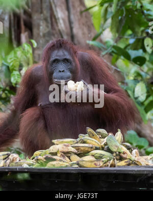 Female orangutan trying to eat her way through a pile of bananas at a feeding station, Tanjung Puting NP, Indonesia - Stock Photo