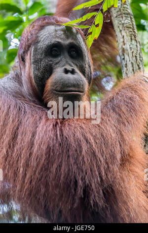 Close-up of a wild orangutan in the forest along the Sekonyer River, Tanjung Puting NP, Kalimantan, Borneo - Stock Photo