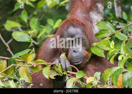 Curosity, wild orangutan in the bushes by the Sekonyer River - Stock Photo