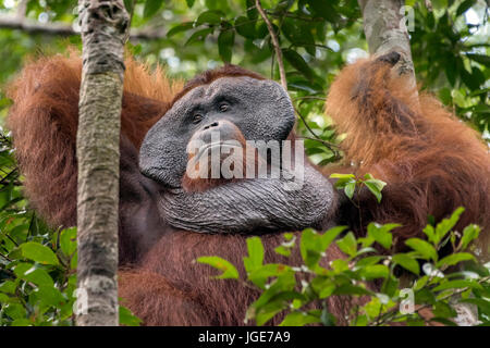 Dominant male orangutan, Tanjung Puting National Park, Kalimantan, Indonesia - Stock Photo