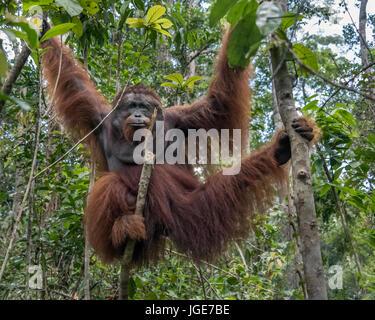 Orangutan posing in a tree, Tanjung Puting National Park, Kalimantan, Indonesia - Stock Photo