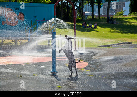 Black dog playing and jumping in the water spray at a city park in Vancouver (Crab Park). - Stock Photo