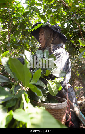 Chiang Rai, Thailand - November 2, 2007: Woman of the Akha ethnic group gather coffee in the mountains of northern - Stock Photo