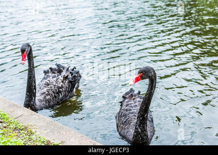 Two black swans with red beaks swimming in lake in park during summer - Stock Photo