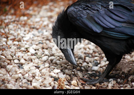 Closeup of black raven standing on ground and looking down - Stock Photo