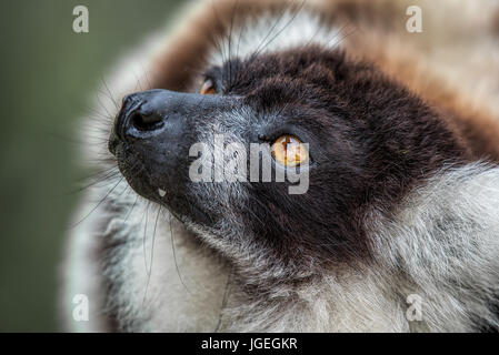 A very close photograph of the head of a black and white ruffed lemur showing eye detail and fur texture - Stock Photo