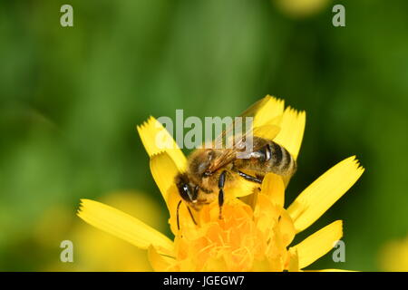 macro The bee polinates on the flower - Stock Photo