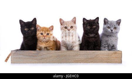 Row of five British Shorthair cats / kittens sitting on a wooden tray isolated on white background / looking ate - Stock Photo