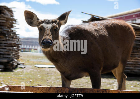 Female Deer in front of a water trough, next to the Tibetan town of Tagong, Sichuan, China. - Stock Photo