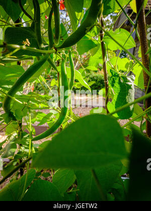 Light passes through runner beans on a plant revealing the seeds within. Sussex, UK - Stock Photo