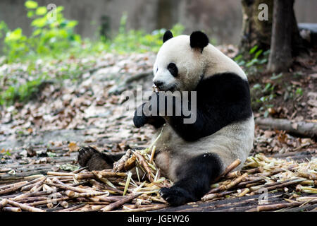 A Panda eating bamboo, Chengdu Research Base of Giant Panda Breeding, China. - Stock Photo