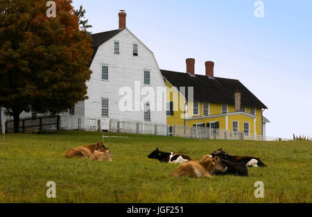 Cows at rest in front of the Shaker Village and museum in Canterbury, NH, USA