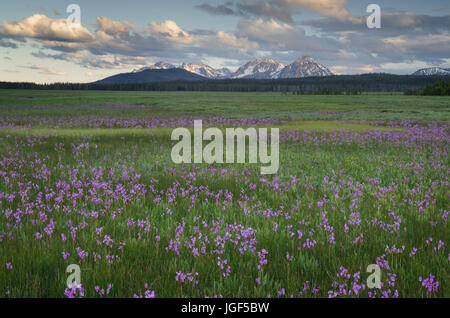 Shooting Star (Dodecatheon conjugens) wildflowers blooming in Elk Meadows, Salmon-Challis National Forest Idaho - Stock Photo