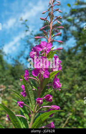 Pink flowers of Rosebay Willowherb / Epilobium angustifolium a common summertime weed. Young leaves may be eaten - Stock Photo