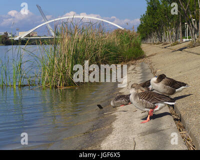 Seville, Spain -  March 28th, 2017. Group of Goose resting at the shore of Guadalquivir river. On background there - Stock Photo