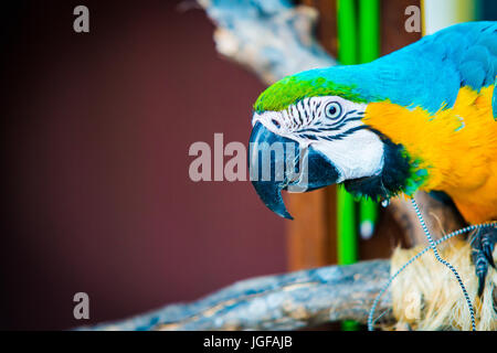 portrait of Blue and yellow macaw with copy space for text - Stock Photo