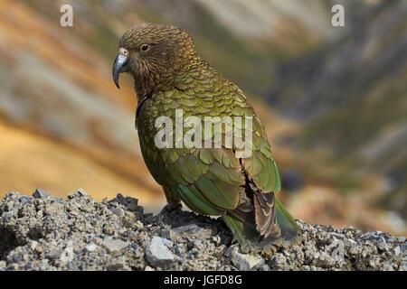 Kea (New Zealand alpine parrot - Nestor notabilis ), Mount Hutt, Canterbury, South Island, New Zealand - Stock Photo