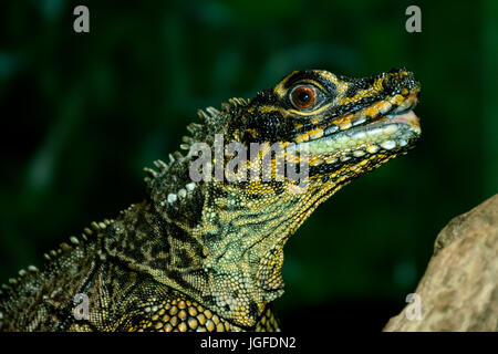 Philippine sailfin lizard, crested lizard, sail-fin lizard, sailfin water lizard, soa-soa water lizard (Hydrosaurus - Stock Photo