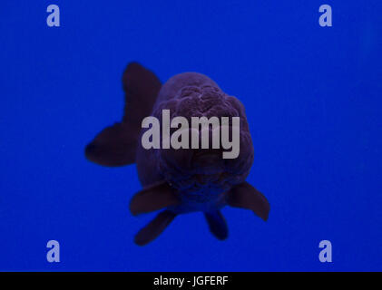Black lionhead fish in a blue background - Stock Photo