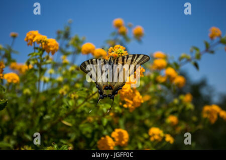Papilio Butterfly - Stock Photo