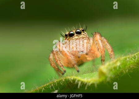 macro closeup of jumping spider on the green leaf - Stock Photo