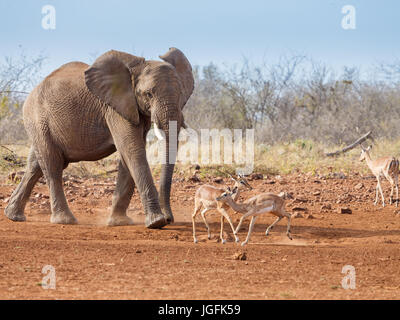 The elephant Loxodonta africana a large animal approaching water with smaller animals scattering to make way. Madikwe - Stock Photo