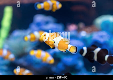 Amphiprion Ocellaris Clownfish In Clownfish swim around their host anemone with blue water behind. Photo of a tropical - Stock Photo