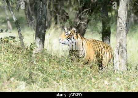 Royal bengal tiger (Panthera tigris tigris) stalking for prey in forest, Ranthambhore National Park, Rajasthan, - Stock Photo