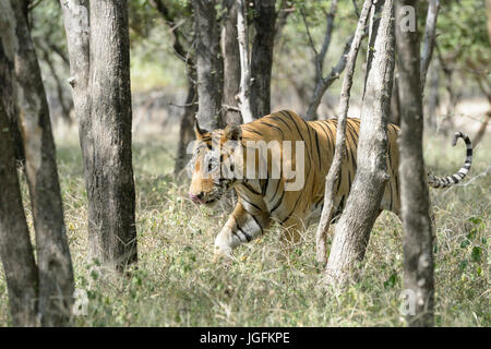 Royal bengal tiger (Panthera tigris tigris) walking in forest, Ranthambhore National Park, Rajasthan, India. - Stock Photo