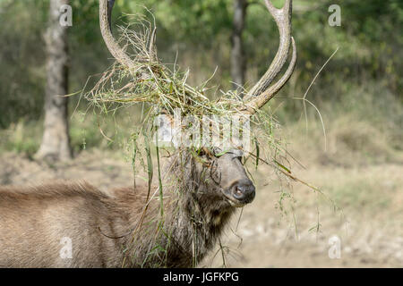 Sambar deer (Rusa unicolor, Cervus unicolor) stag portrait, with grass between antlers during rut, Ranthambhore - Stock Photo