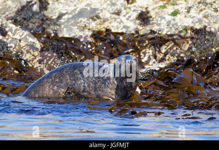 Grey Seal, Halichoerus grypus, single adult female resting amongst seaweed at edge of sea. Farne Islands, Northumberland, - Stock Photo