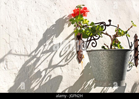 Geraniums hanging in metal pots with white wall background - Stock Photo